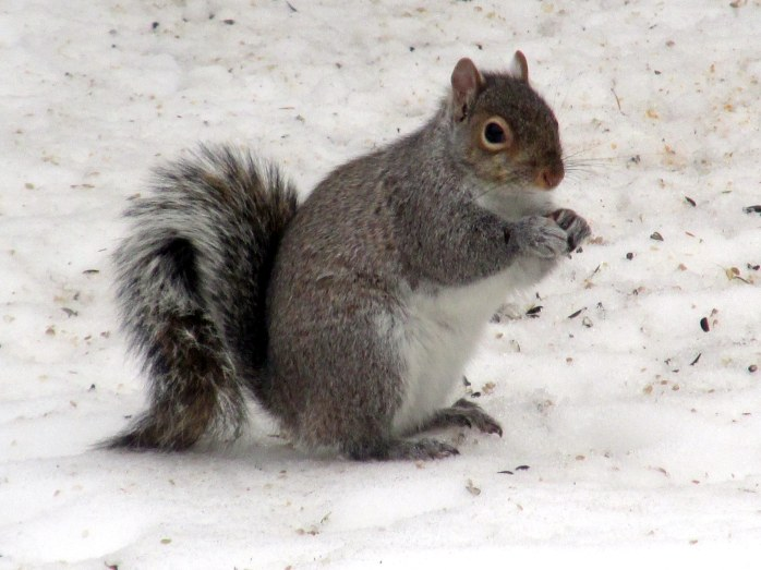 grey squirrel, 29 Jan