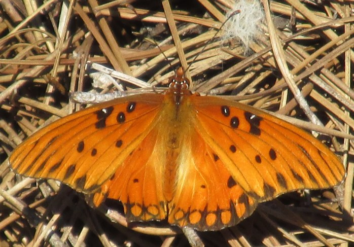 gulf fritillary butterfly on pine needles
