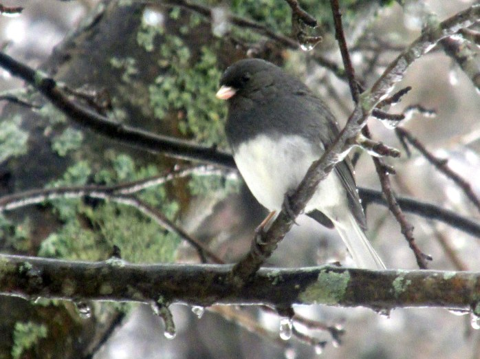junco, 3 Feb