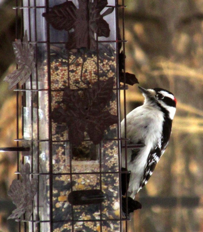 male downy woodpecker, 12 Feb