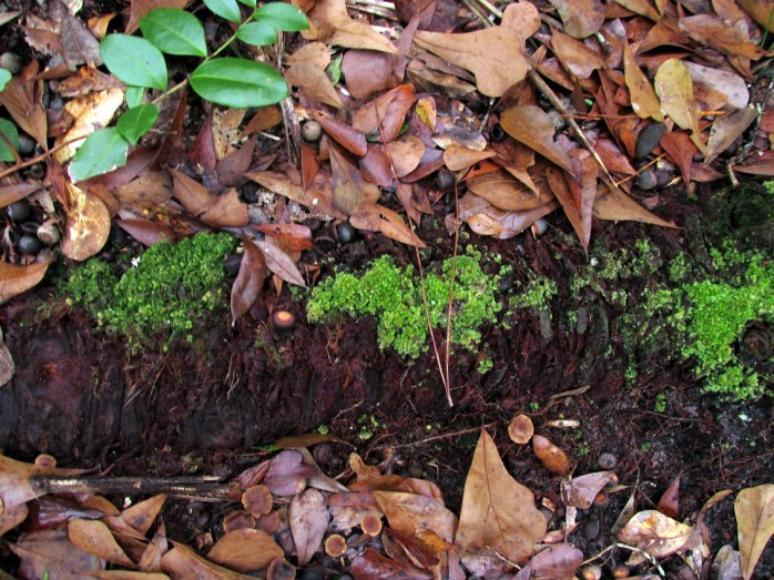 moss on saw palmetto (Serenoa repens) root across trail ... see the acorns and the little brown fungi?