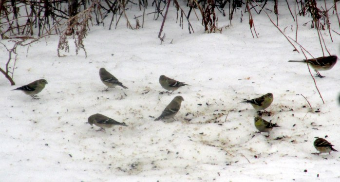 nine goldfinches, 3 Feb