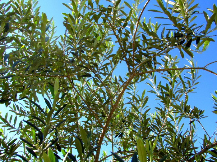 olive tree leaves against sky