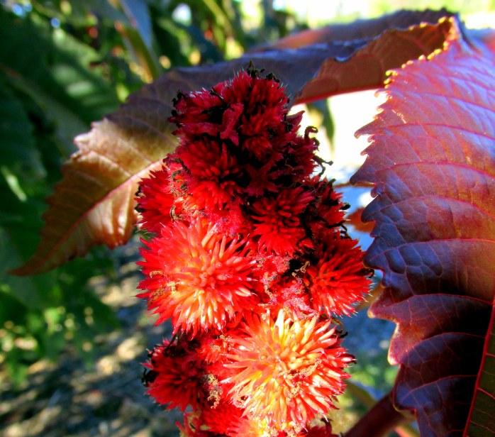 Palma Christi - Castor bean plant