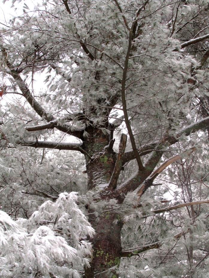 pine trunk, 9 Jan