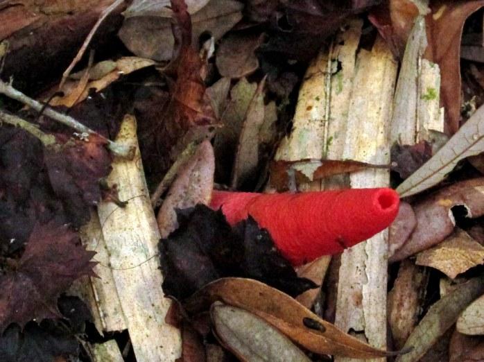 Mutinus elegans stinkhorn mushroom