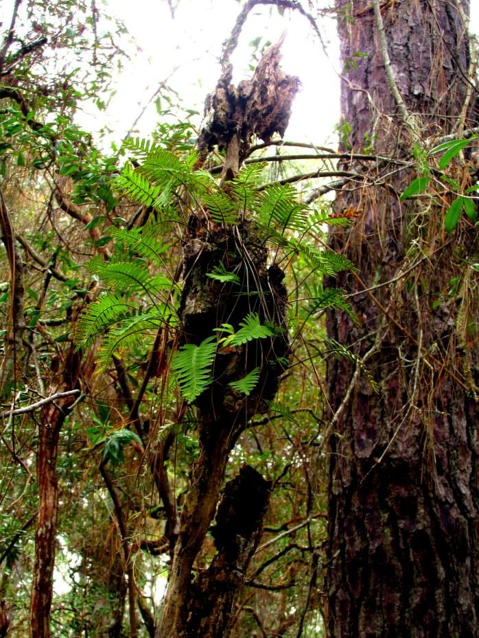 more resurrection fern