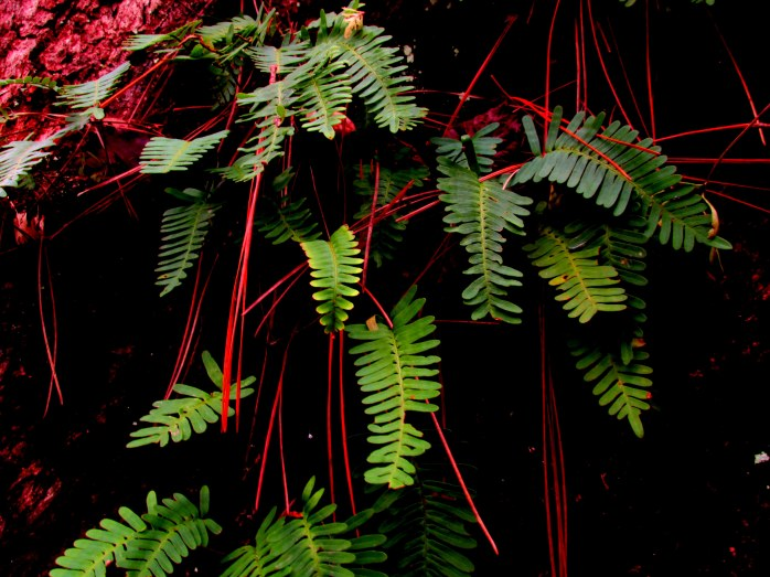 resurrection fern (Pleopeltis polypodioide)