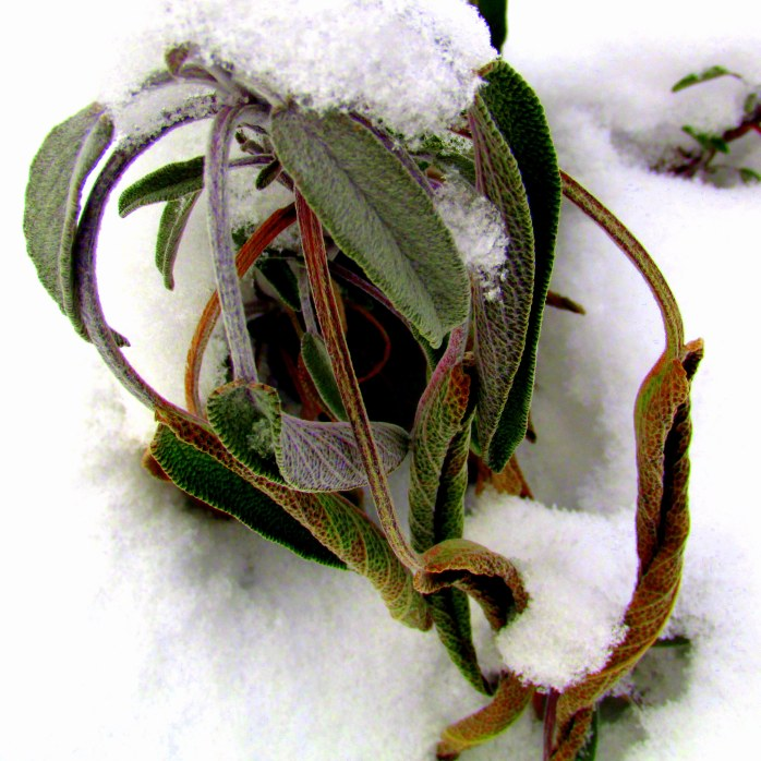 sage leaves, 9 Feb