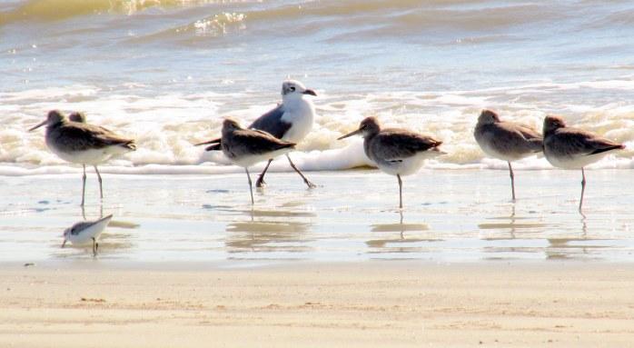sixshorebirdsononeleggullsmallbirdSouthBeachJekyll20Dec2015