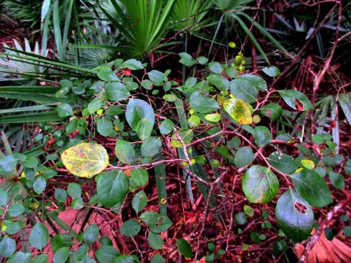 sparkleberry (V. arboreum)