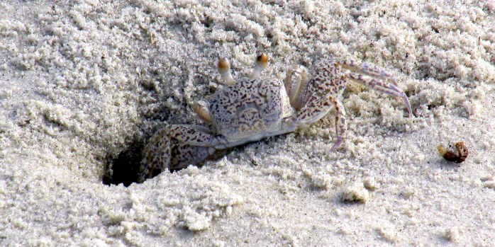 speckled ghost crab at hole