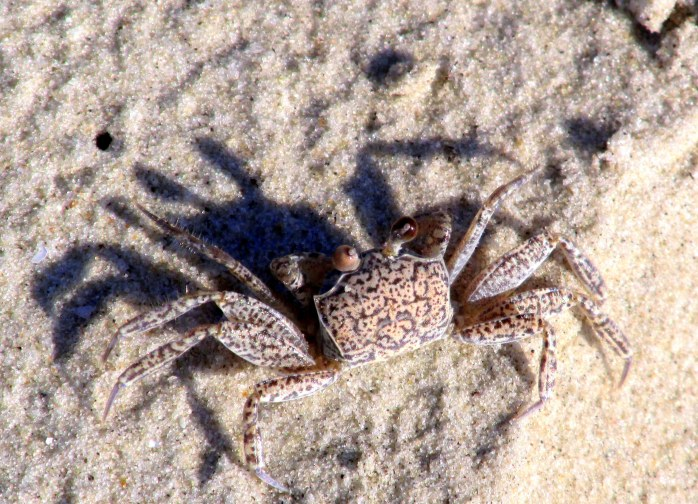 speckled ghost crab blending in to sand