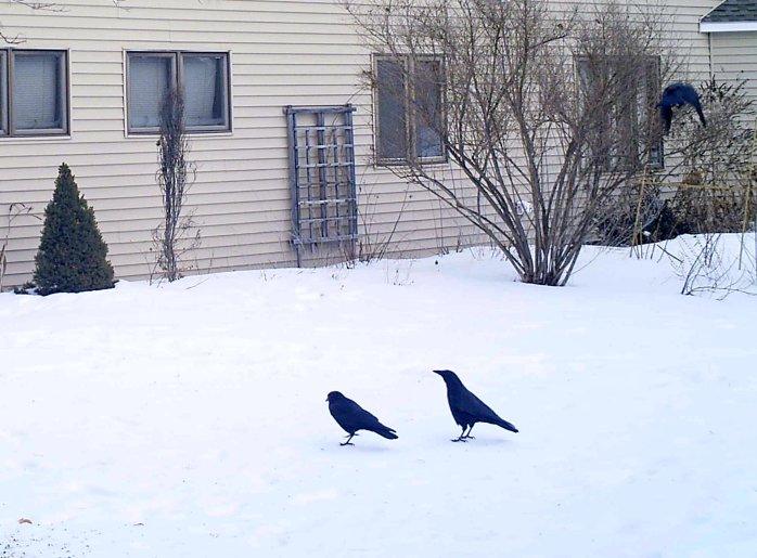 three crows on the motion camera, 29 Jan