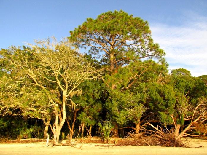treesStAndrewsJekyll30Dec2015