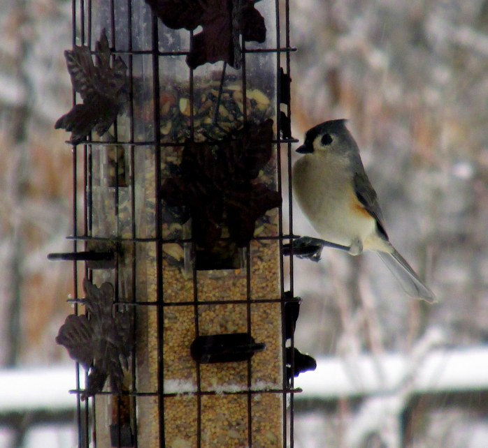 tufted titmouse, 16 Jan