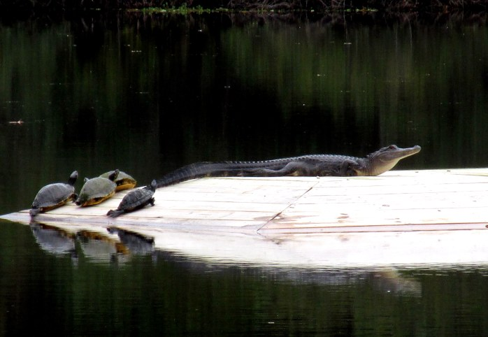 turtles and alligator on basking deck