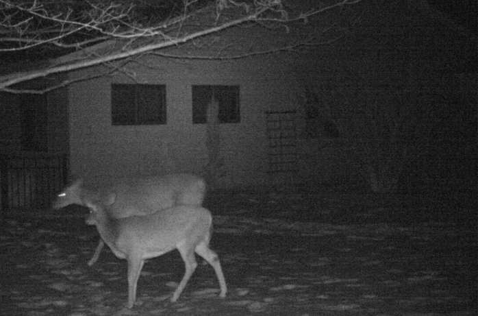 two deer on motion camera, 31 Jan