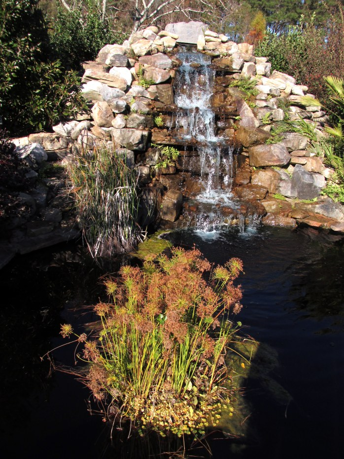 waterfalldwarfumbrellaplantpondCGBGSavannah19Dec2015