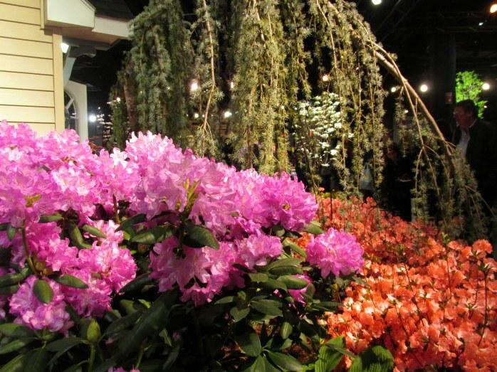 azalearhododendronweepingtreeHeimlichNurseriesBostonFlowerShow19March2016