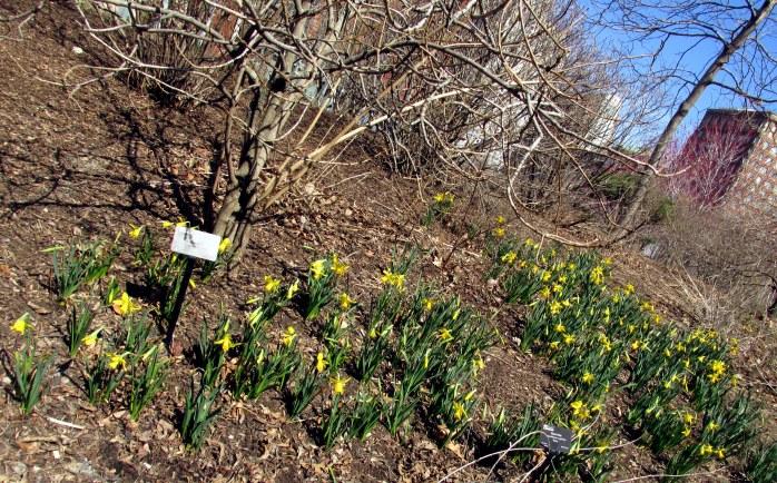 daffodils along Rose Kennedy Greenway