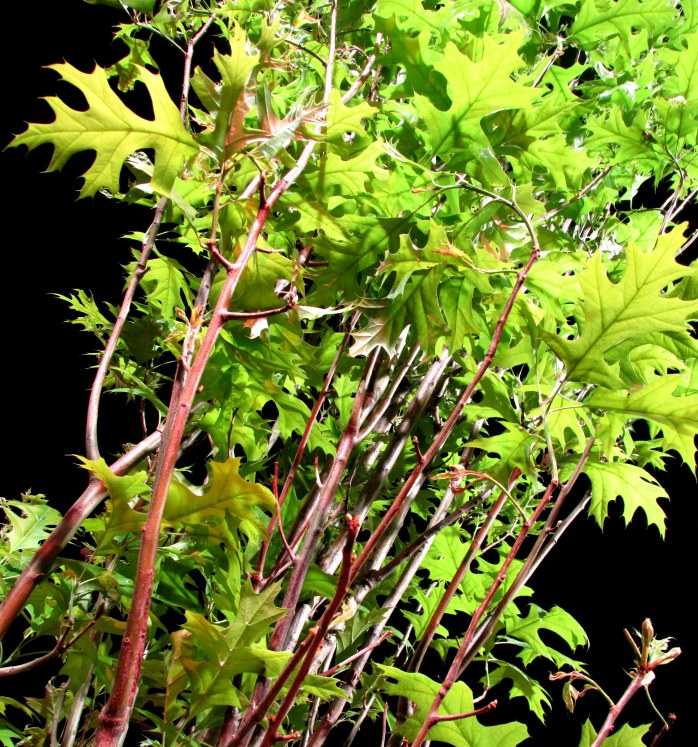 English oak tree leaves