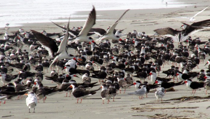 flockskimmersternsbirdsonmidbeach949amJekyll29Dec2015