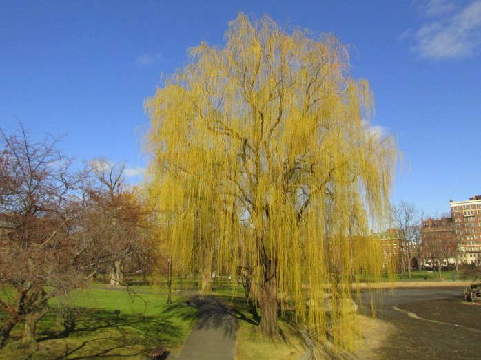 weeping willow, Boston Common