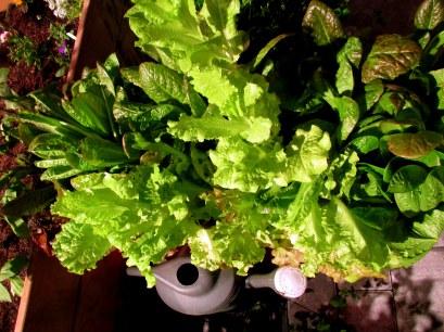 lettuceswateringcanMassCorrectionalInstitutionsHortProgramBostonFlowerShow19March2016
