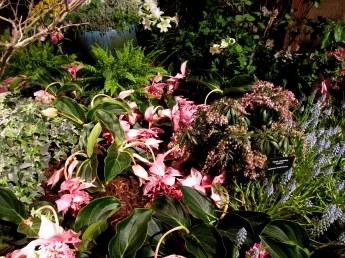 medinillaflowersandpierisdrapedPlantSomethingMassBostonFlowerShow19March2016