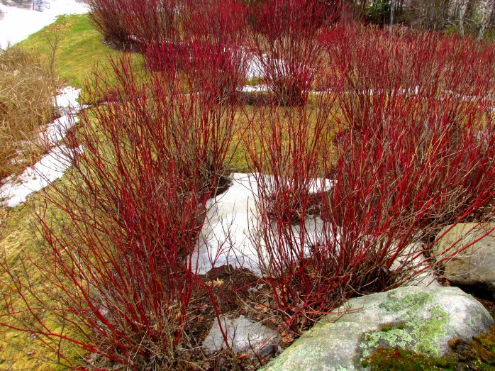 red twig dogwood planted by grocery store, New London, 25 Feb 2016
