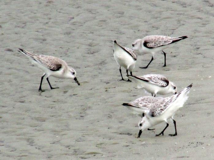 six sanderlings