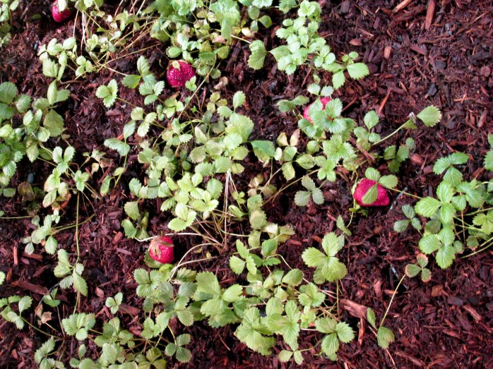 strawberriesgrowingRutlandNurseriesBostonFlowerShow19March2016