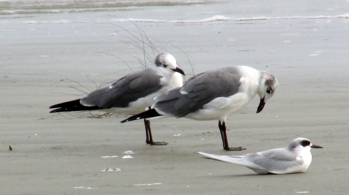two laughing gulls and least tern