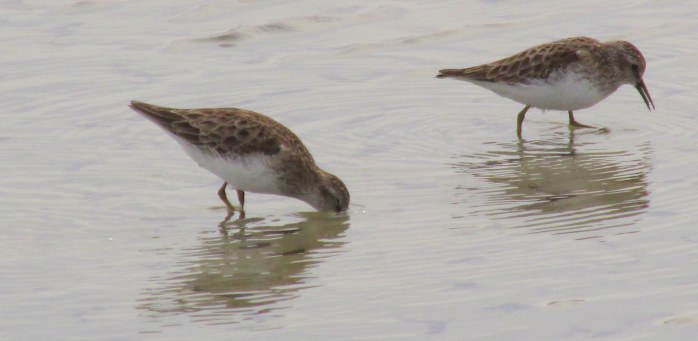 two least sandpipers