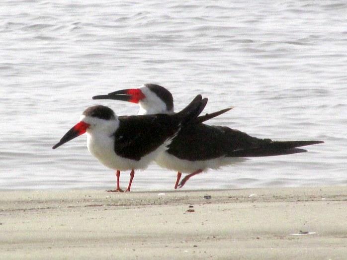 twoskimmersbirdsbSouthbeachJekyll25Dec2015