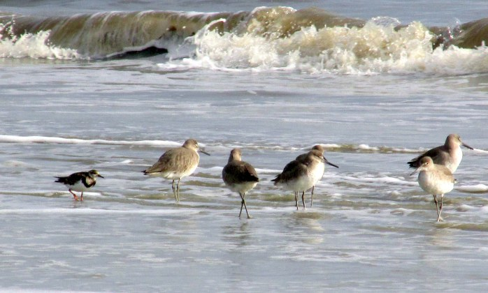 willets and ruddy turnstone