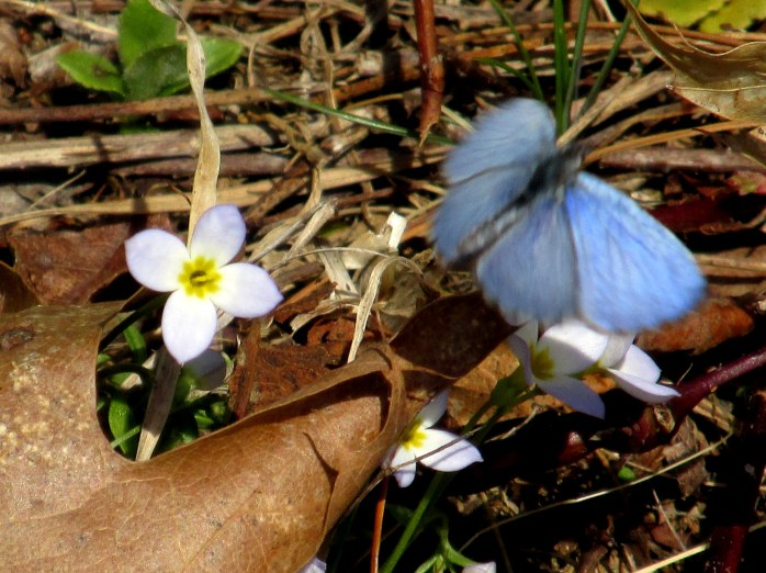 probably a spring azure butterfly in flight