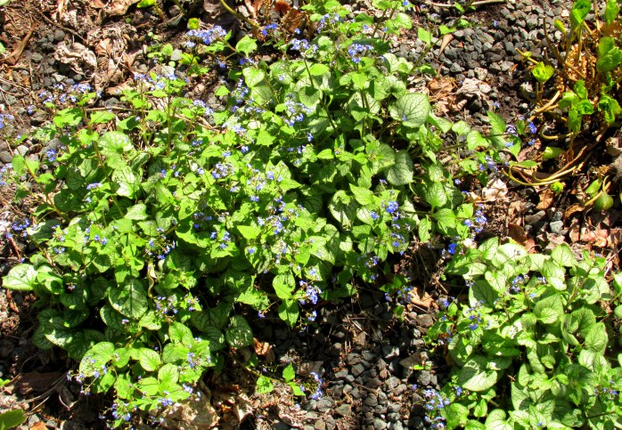 brunnera (bug gloss)