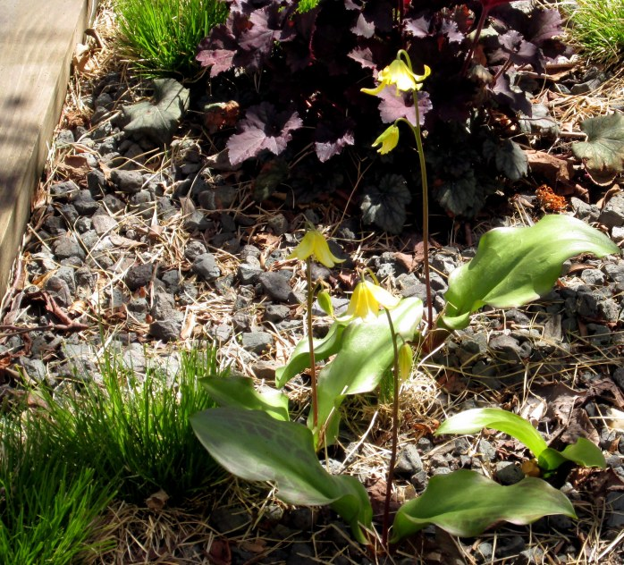 dog tooth violet aka trout lily (Erythronium pagoda) against heuchera foliage