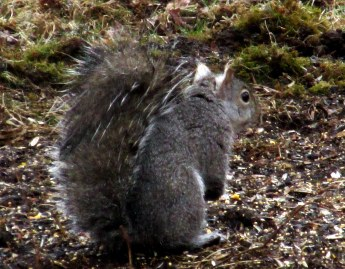 grey squirrel with white-tufted ears