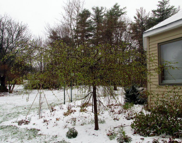 leafing-out weeping 'Jade' crabapple in snow