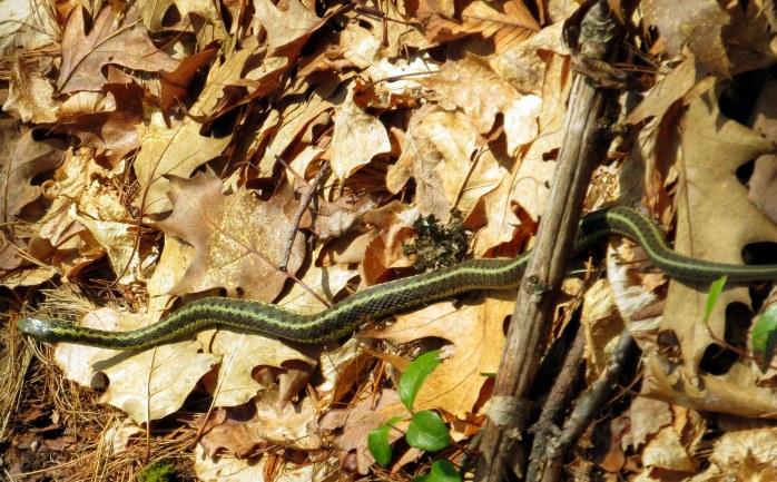 most of a garter snake