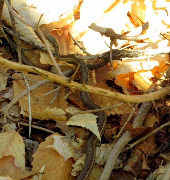 most of garter snake