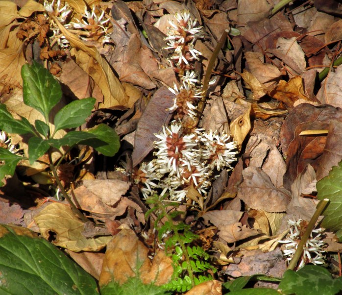 pachysandra (ground cover)