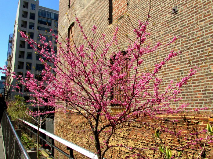 redbud against brick wall