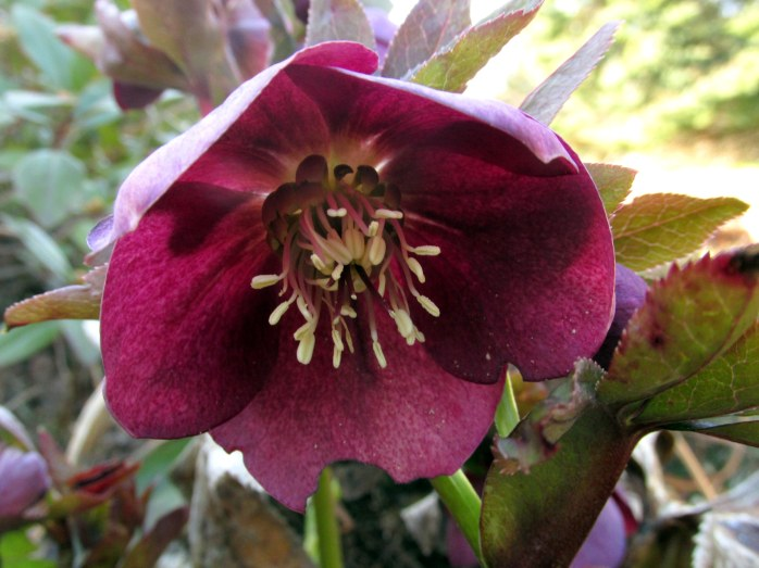 hellebore bloom