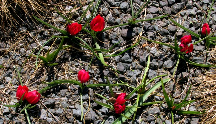 redtulipsrocksHighLineNYC10April2016