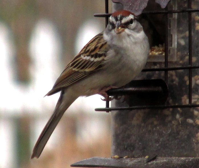 chipping (?) sparrow
