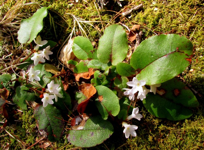 white trailing arbutus (Epigaea repens) flowers and foliage